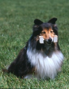 Sheltie belonging to Joanne Carriera holds an obedience dumbbell.