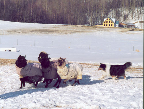 Herding, Alaska style. Dog owned by Peggy Crawford.