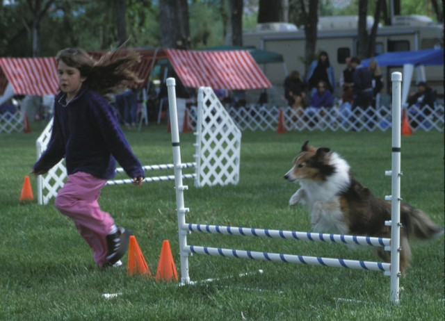 Sheltie clearing an agility jump. Photo by Judith Strom.